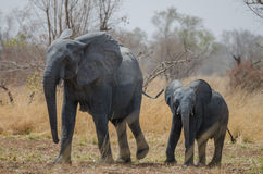 Free Young Small African Elephant Walking Alongside His Mother In Savannah Landscape, Pendjari National Park, Benin Royalty Free Stock Image - 81160516