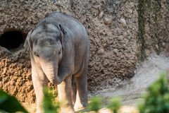 Young and small baby elephant walking around at the zoo. A young and small baby elephant walking around Stock Photography