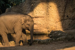 Young and small baby elephant walking around at the zoo Stock Photo