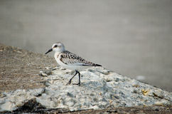 Young sanderling Stock Images