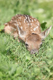 Young small buck hiding in the grass Stock Photo