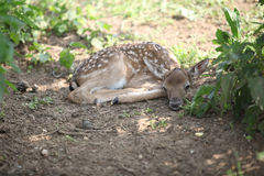 Young small buck lying down Royalty Free Stock Image