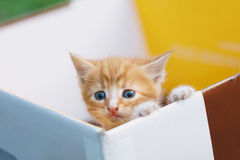 Young small cat lean out of the box and looking. Young small cat lean out of box and looking Royalty Free Stock Photo