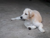 Young small cute lovely mini size crossbreed puppy dog Stock Images