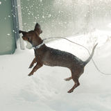 Young small dachshund plays with the snow Royalty Free Stock Photography