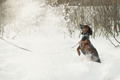 Young small dachshund plays with the snow Stock Images