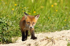 Young small european fox cub Stock Image