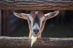 Young, small goatling peeping from behind a wooden fence. Royalty Free Stock Photography