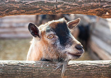 Young, small goatling peeping from behind a wooden fence in the Stock Image
