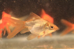 Young small goldfish Stock Images