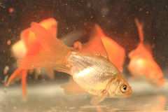 Young small goldfish Royalty Free Stock Photo