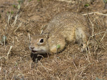 Young small gopher in thesteppe. Stock Image