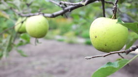 Young small green apple close up HD stock footage. Green small apples on a branch hanging and swaying in the wind.Full HD 1920 x 1080, 25 fps stock video footage