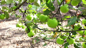 Young small green apple close up HD stock footage. Green small apples on a branch hanging and swaying in the wind.Full HD 1920 x 1080, 25 fps stock video