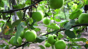 Young small green apple close up HD stock footage. stock video