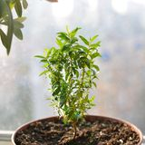 Young small green myrtle with leaves, growing in sunlight in pot close up. Evergreen plant, used for decoration. Young small green myrtle & x28;myrtus communis& stock image