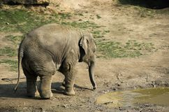 Young small indian elephant Stock Photography