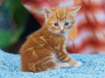 Young small kitten sit. And looking Royalty Free Stock Image