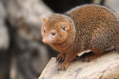 Young small mongoose sits on a failed hard wood Stock Photo