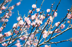 The young small pink Flowers on many branches. Beautiful Fresh s Royalty Free Stock Images