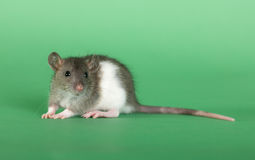 Young small rat. Very small rat on a green background Stock Photo