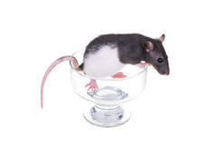 Young small rat in a cup Royalty Free Stock Photo