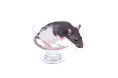 Young small rat in a cup Stock Photography