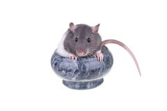Young small rat in a cup Stock Image