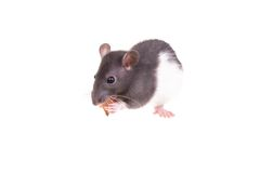 Young small rat in a cup Stock Images