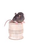 Young small rat in a cup Royalty Free Stock Image
