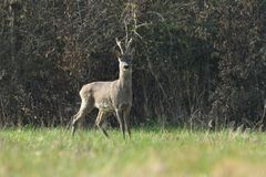 Roe deer with antler walking and grazing grass inside the forest. Young small roe deer with antler walking the meadow close up stock photo