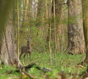 Roe deer with antler walking and grazing grass inside the forest stock images