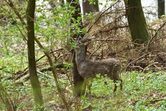 Roe deer with antler walking and grazing grass inside the forest. Young small roe deer with antler walking the meadow close up stock photos