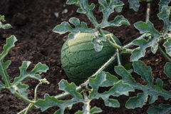 Young small round watermelon lie in the garden bed in fine clear weather morning Stock Photo