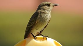 Young spotted flycatcher sitting in the garden stock image