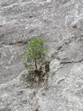 Young small tree determined to cling to a cliff and survive Stock Image