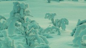 Young small trees, covered with frost, in the snow field. Young and small bushes, covered with a thick layer snow and frost, swaying slightly in the wind in a stock footage