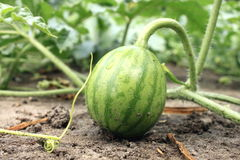 Young small watermelon in the garden in fine clear weather close-up Royalty Free Stock Photography