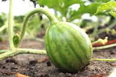 Young small watermelon in the garden in fine clear weather Stock Image
