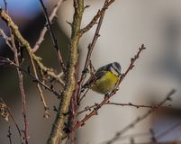 Young small yellow chickadee bird on apricot tree in winter cold sunny day. Young small yellow chickadee bird on apricot tree in winter frosty sunny day royalty free stock photos
