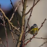 Young small yellow chickadee bird on apricot tree in winter cold sunny day. Young small yellow chickadee bird on apricot tree in winter frosty sunny day royalty free stock photo