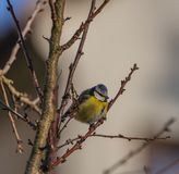 Young small yellow chickadee bird on apricot tree in winter cold sunny day. Young small yellow chickadee bird on apricot tree in winter frosty sunny day stock images