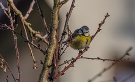 Young small yellow chickadee bird on apricot tree in winter cold sunny day. Young small yellow chickadee bird on apricot tree in winter frosty sunny day royalty free stock photography