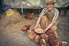 Young smart farmer wear plaid long sleeve shirt brown apron are holding fresh chicken eggs into basket at a chicken farm in him ho stock image