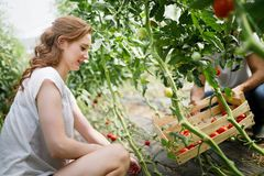 Young smiling agriculture woman worker working, harvesting tomatoes in greenhouse. royalty free stock image