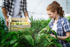 Young smiling agriculture woman worker working, harvesting tomatoes in greenhouse. stock image
