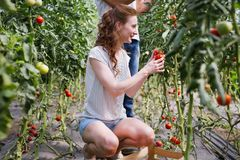 Young smiling agriculture woman worker working, harvesting tomatoes in greenhouse. royalty free stock photo