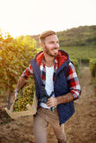 Smiling man harvesting grapes from vines in vineyard. Young smiling man harvesting grapes from vines in vineyard Royalty Free Stock Photo