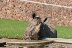 Young smiling rhino drinking and sucking water from a fountain. Photo of a young rhino smiling and drinking and sucking water from a fountain Royalty Free Stock Photos