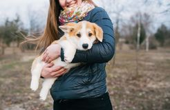Young woman holding her Corgi puppy outdoors stock image